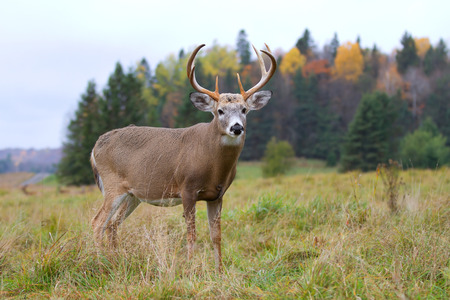 whitetail deer in autumn