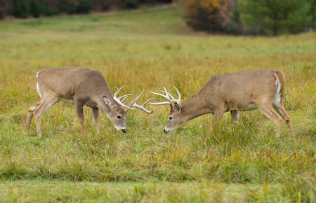 whitetail deer fighting in texas rut