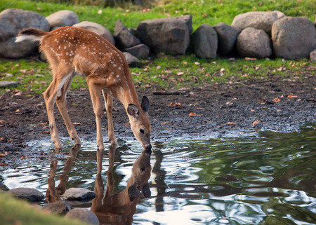 you whitetail fawn by the water
