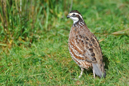 male northern bobwhite quail