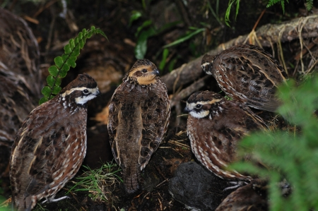 bobwhite quail covey in texas