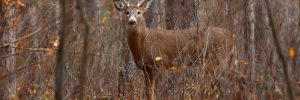 Whitetail Deer in forest